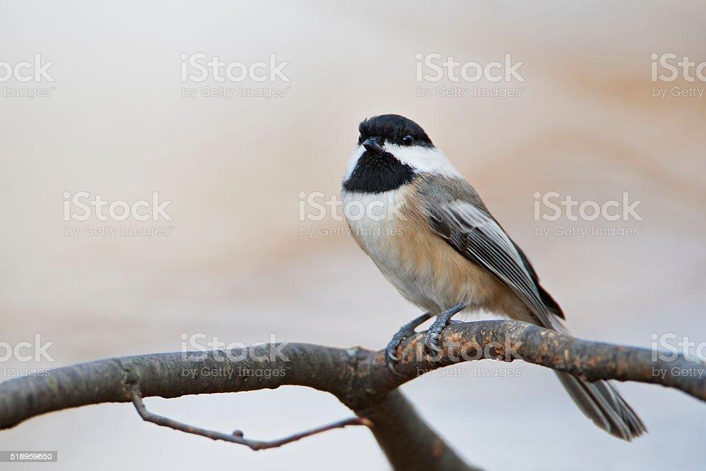 Carolina Chickadee (Poecile carolinensis) on tree branch, Amherst Island, Canada stock photo