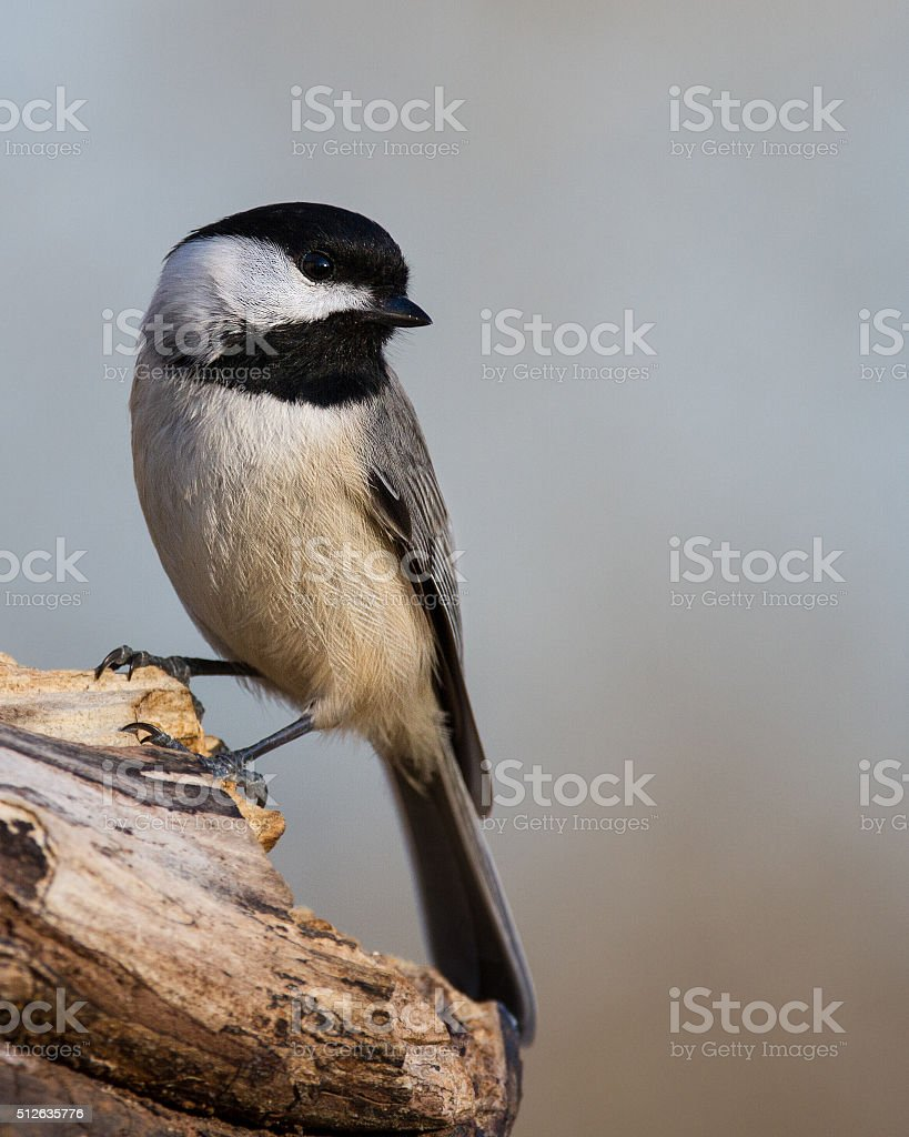 Carolina Chickadee Perched stock photo