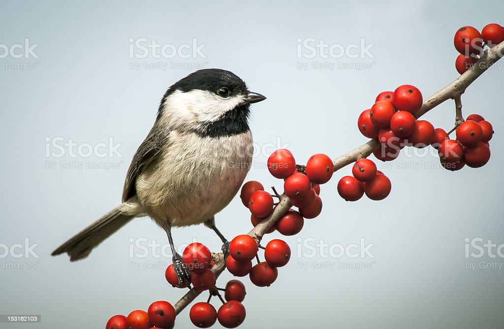 Carolina Chickadee (Poecile carolinensis) stock photo