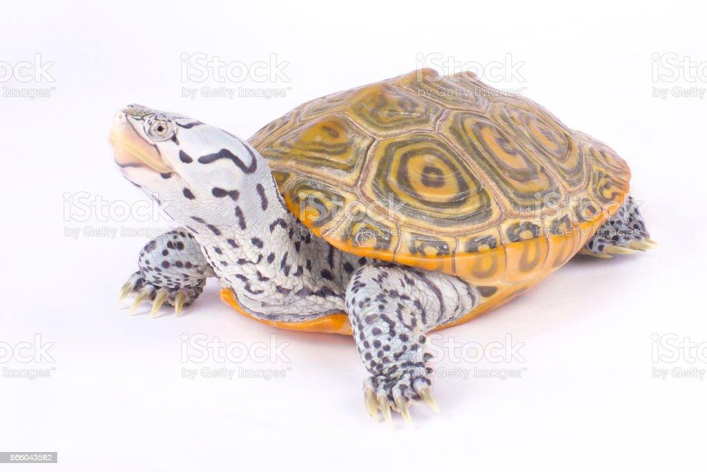 Carolina diamondback terrapin, Malaclemys terrapin centrata stock photo