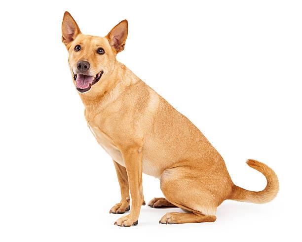 Carolina dog sitting profile picture id519382503?b=1&k=6&m=519382503&s=612x612&w=0&h=hgiui1vzzbnv12tjn bnsb0ydpb59jzp6lbm9ogk35m=