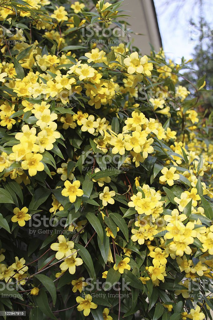 Carolina Jasmine- Yellow Flowers stock photo