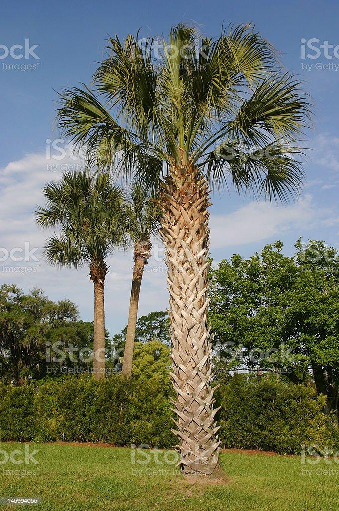 Carolina palmetto royalty-free stock photo