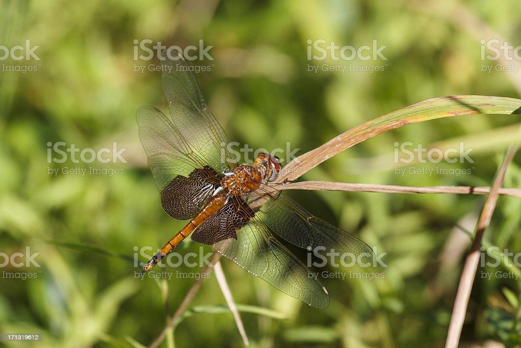 Carolina Saddlebags Dragonfly detalhe - foto de acervo
