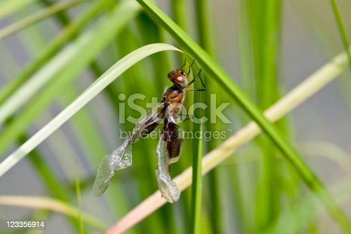 A Carolina Saddlebags Dragonfly that has recently emerged from its nymph stage.  Notice that the wings are still crumpled after emerging.  They will soon straighten out and the dragonfly will be able to fly.