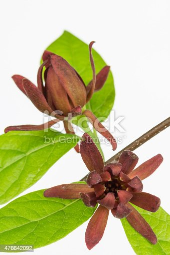 Calycanthus floridus, aka Carolina Allspice, is a native shrub with leathery red flowers. Close up of leathery  red flowers and leaves covered with tree pollen and  white background.