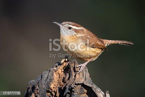A Carolina Wren on Stump in Pilot Mountain, NC, United States