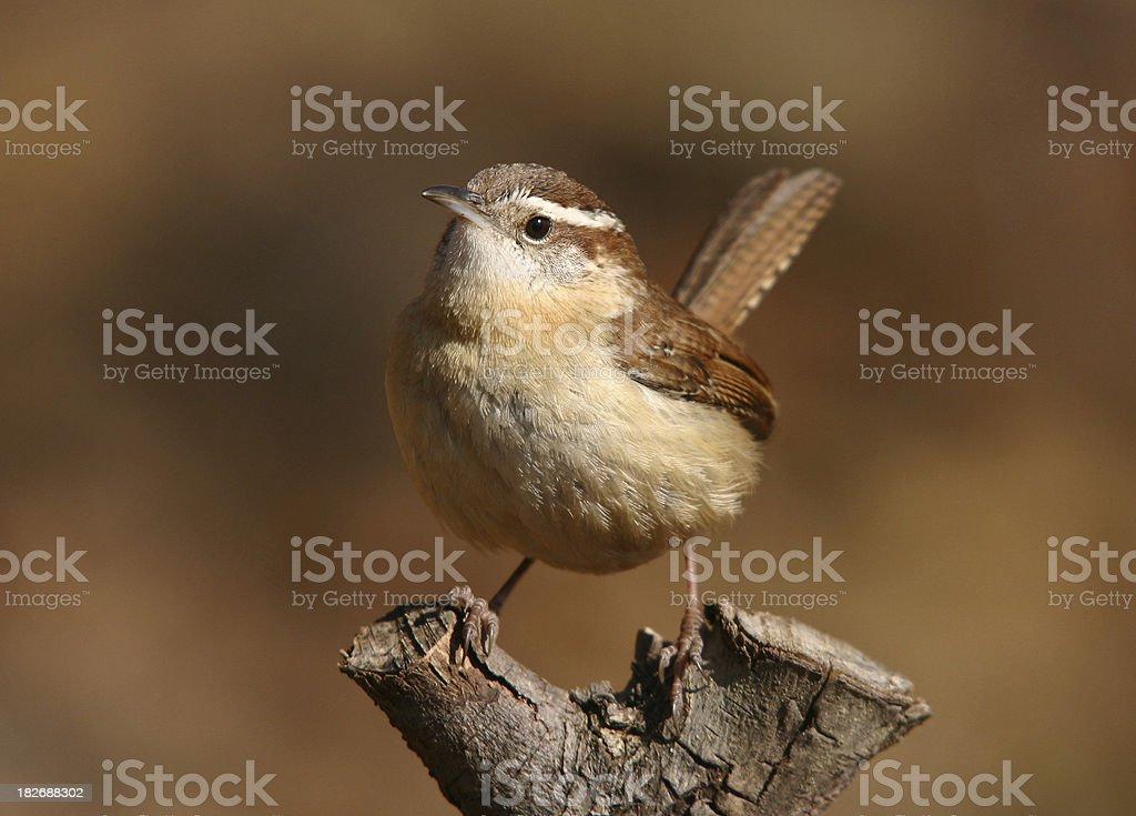 Carolina Wren royalty-free stock photo