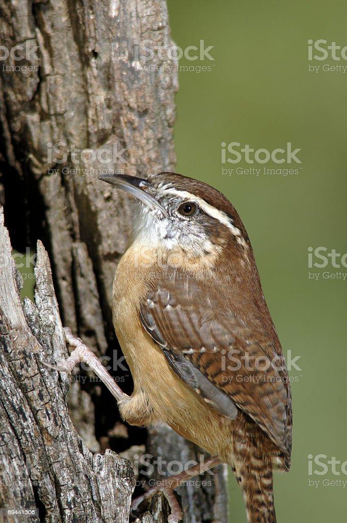 Carolina Wren (Thryothorus ludovicianus) XL foto stock royalty-free