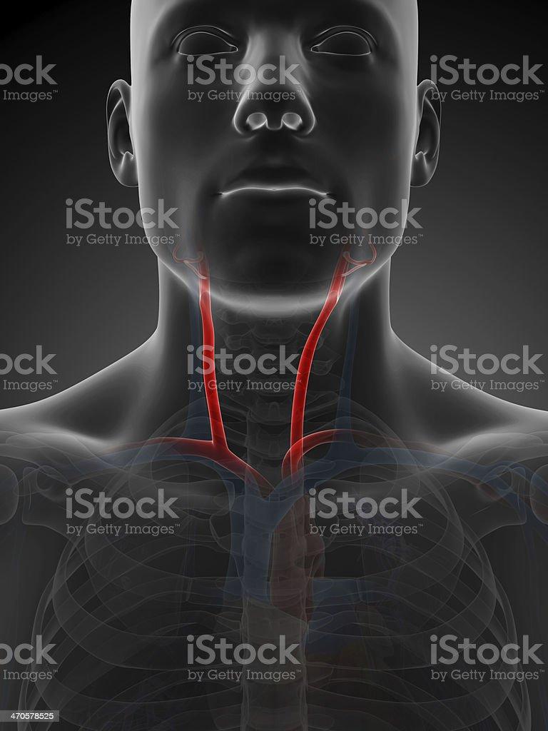 Arteria carótida - foto de stock