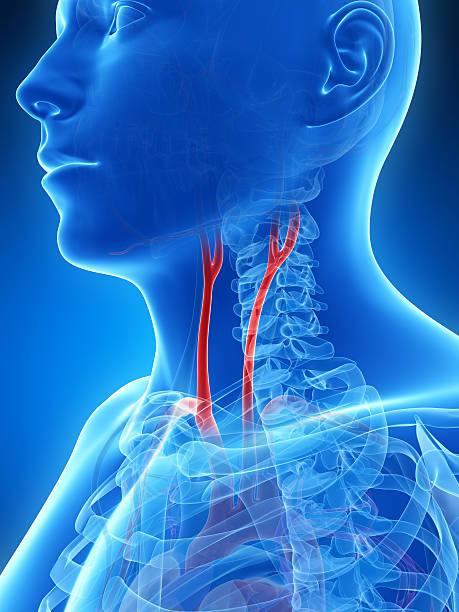 carotid artery stock photo