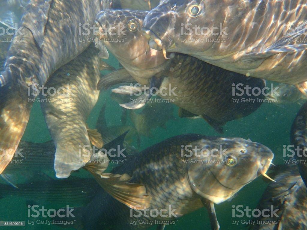 Carp and Striped Bass stock photo