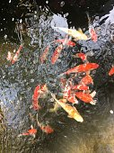 Carp fish in the pond