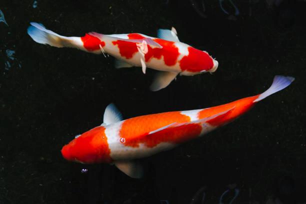 Karpfenfische (Bunte Koi) im Wasserbecken – Foto