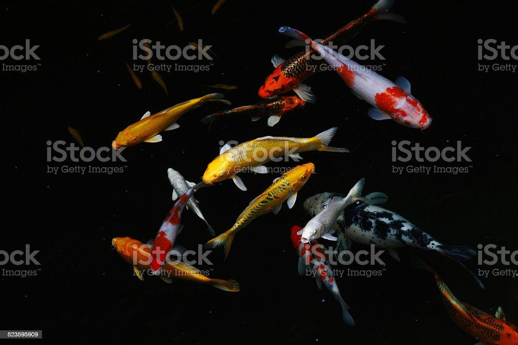 Carp fish Carp fish/ Koi fish Animal Stock Photo