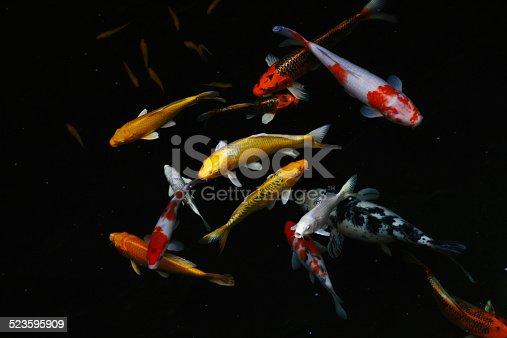 Carp fish/ Koi fish