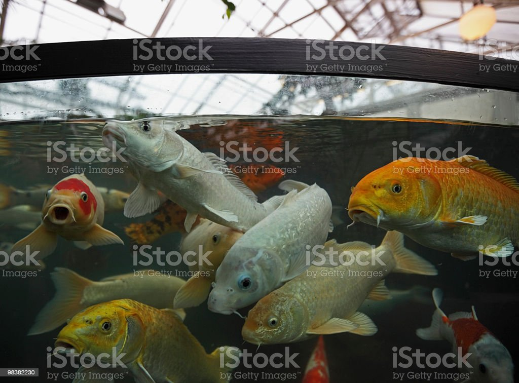 Carp in a tank royalty-free stock photo