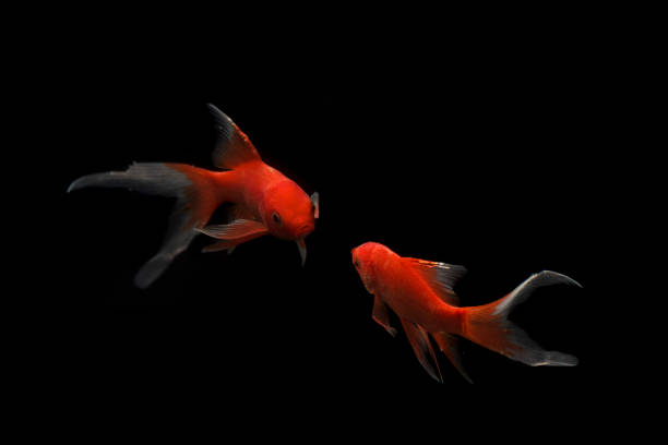 225 Celestial Eye Goldfish Stock Photos Pictures Royalty Free Images Istock