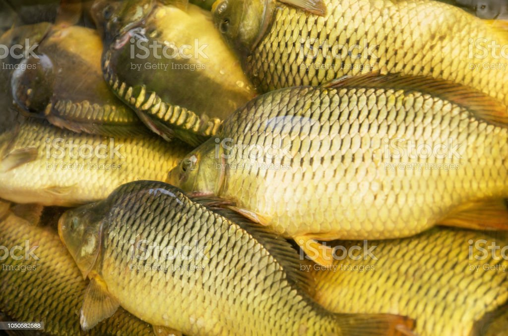 Carp Live Caught Raw Fish With Scales In The Water Stock