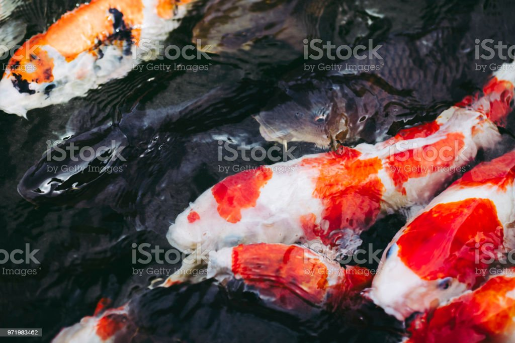 Carp of Japanese pond stock photo