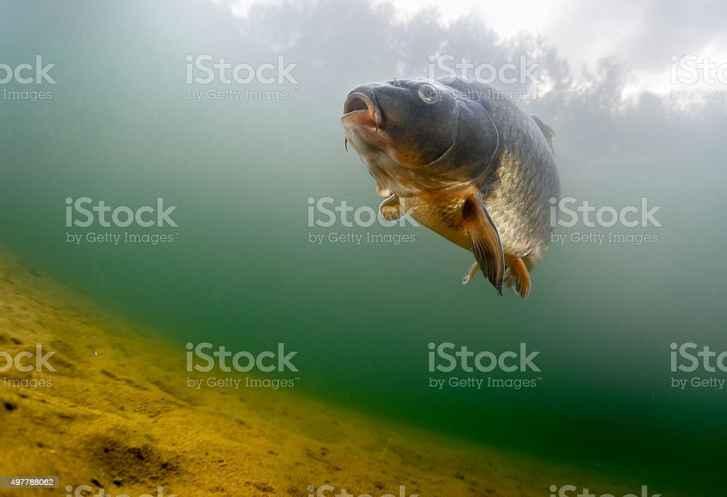 Carp of the family of Cyprinidae stock photo