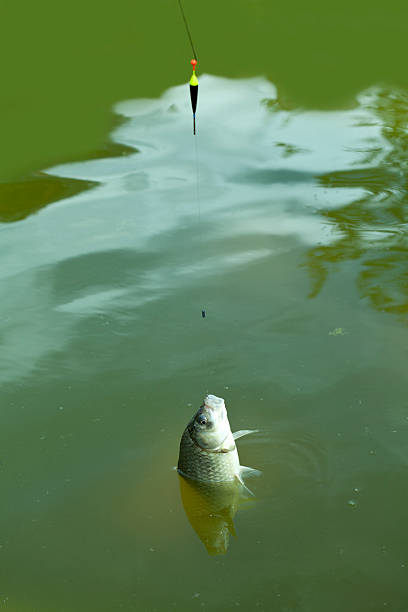 carp on hook - lepro stock pictures, royalty-free photos & images