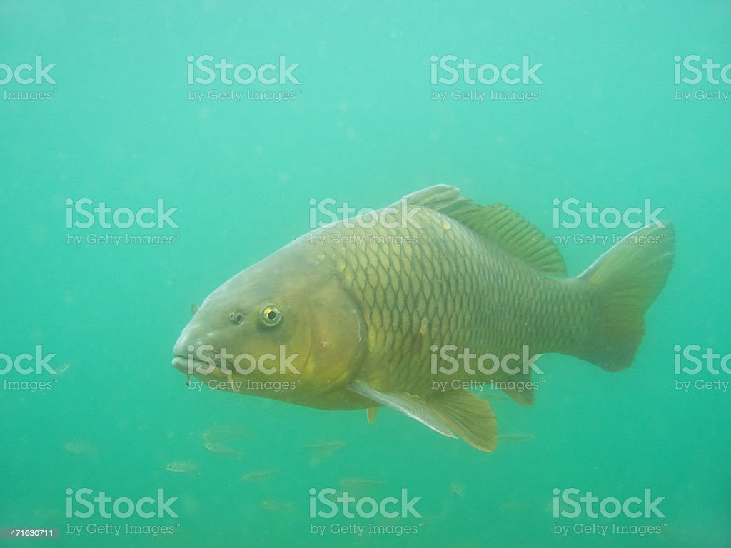 Carp ( Cyprinus carpio ) royalty-free stock photo