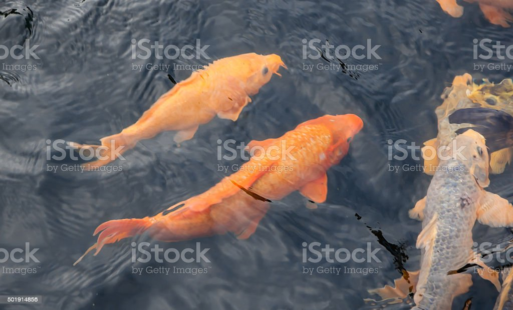 carp stock photo