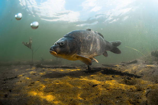 Carp Underwater shot of the fish (Carp of the family of Cyprinidae) in a pond near the bottom freshwater fish stock pictures, royalty-free photos & images
