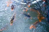 Colorful Koi fish swimming in the pondhttps://lh5.googleusercontent.com/-4onnvr2gexE/VMUQwbVa0-I/AAAAAAAAA_8/zeUCgkMenWA/s380/banner_China.png
