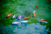 Colorful Koi fish swimming in the pond