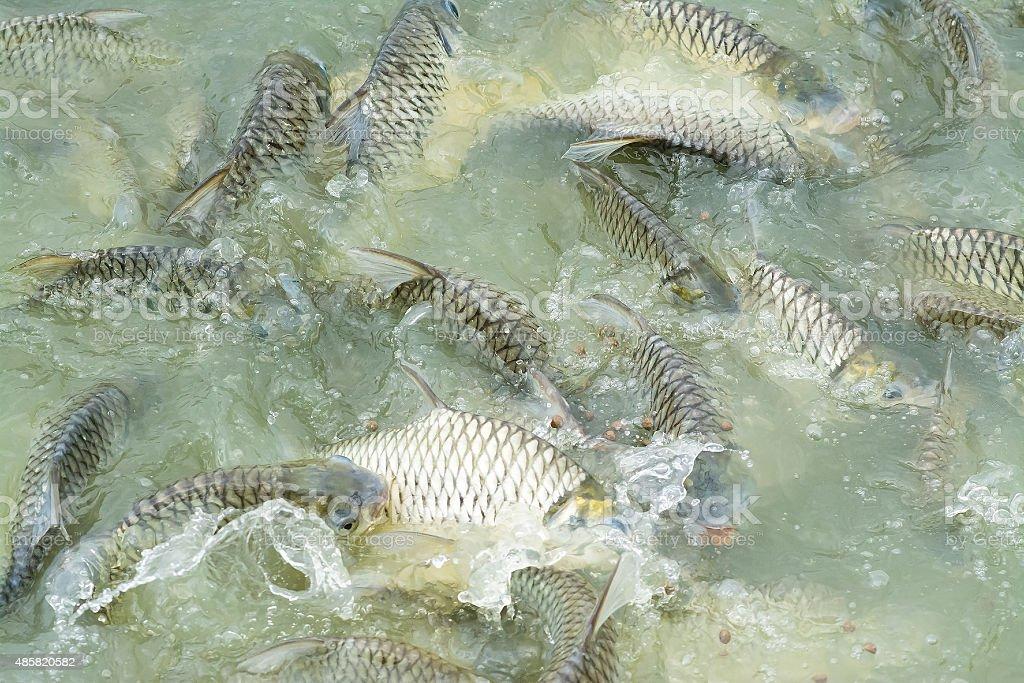 carp silver in pond stock photo