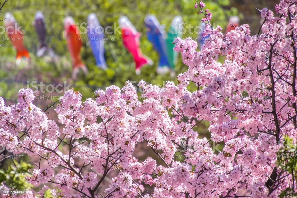鯉のぼりと北海道の桜。 ストックフォト