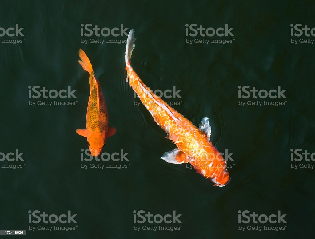 Carp Swimming in Different Directions stock photo