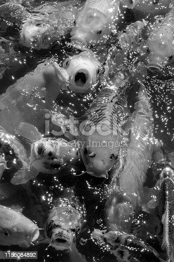 Carp Swimming in Traditional Japanese Koi Pond in Lehigh, Utah