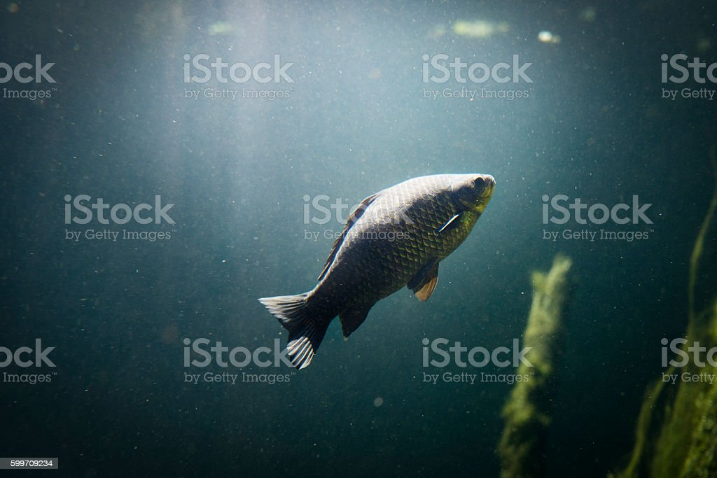carp underwater swimming stock photo