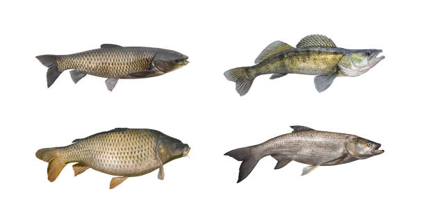 Carp, zander (sander), amur (grass carp), asp fish set isolated on white stock photo