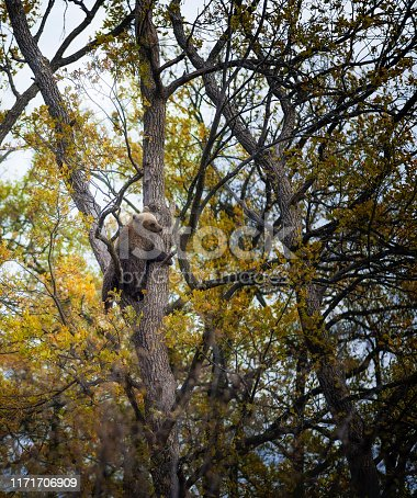 Small Carpathian brown bear in the woods, climbing on a tree.