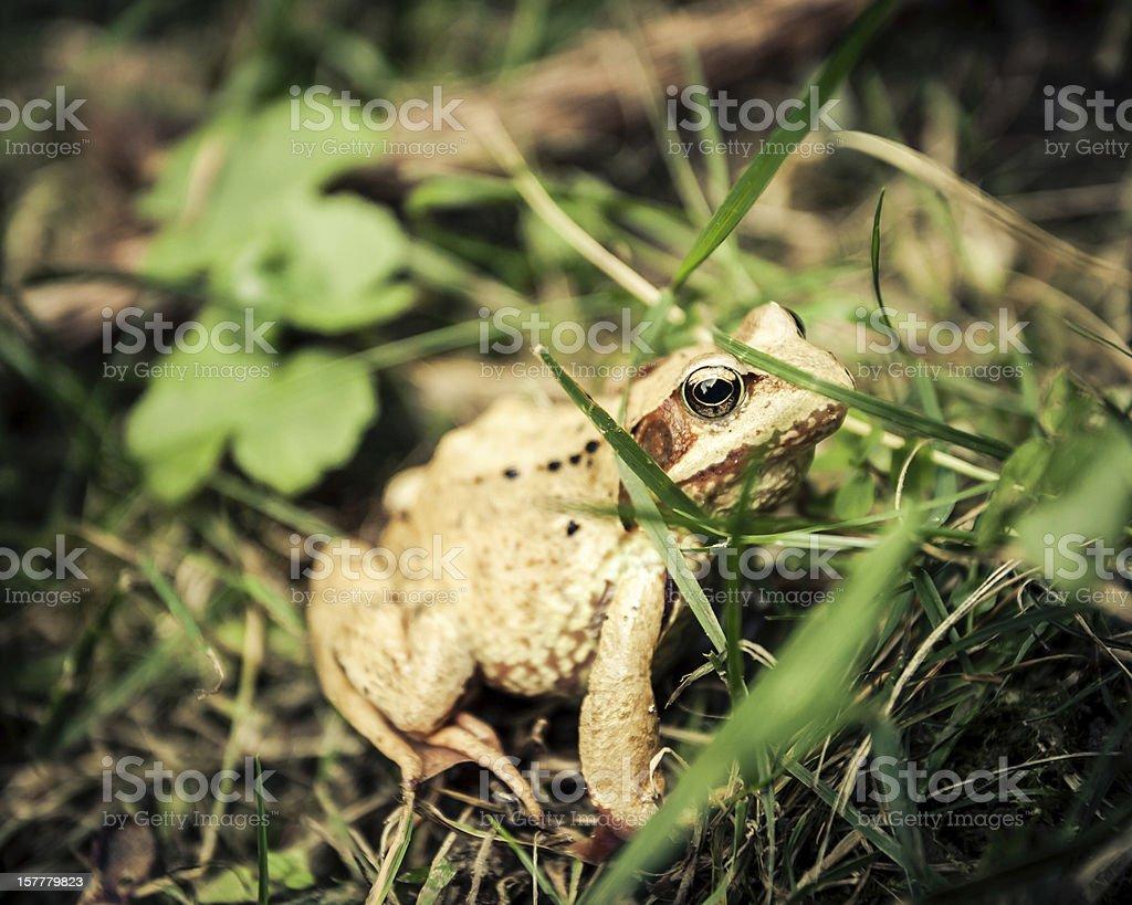 Carpathian frog hiding in the grass stock photo