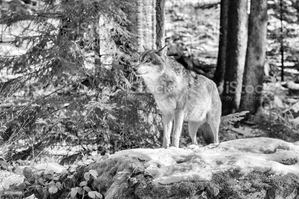 Carpathian Gems - Gray / Timber Wolf stock photo
