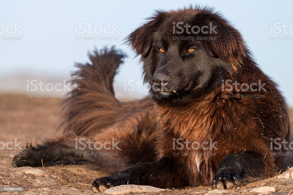 Carpathian Shepherd Dog stock photo
