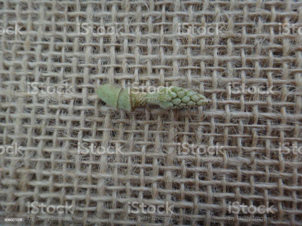 Carpels - Champak flower parts on jute background stock photo