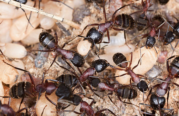 Carpenter ant, Camponotus herculeanus, rescuing egg behavior, macro photo​​​ foto