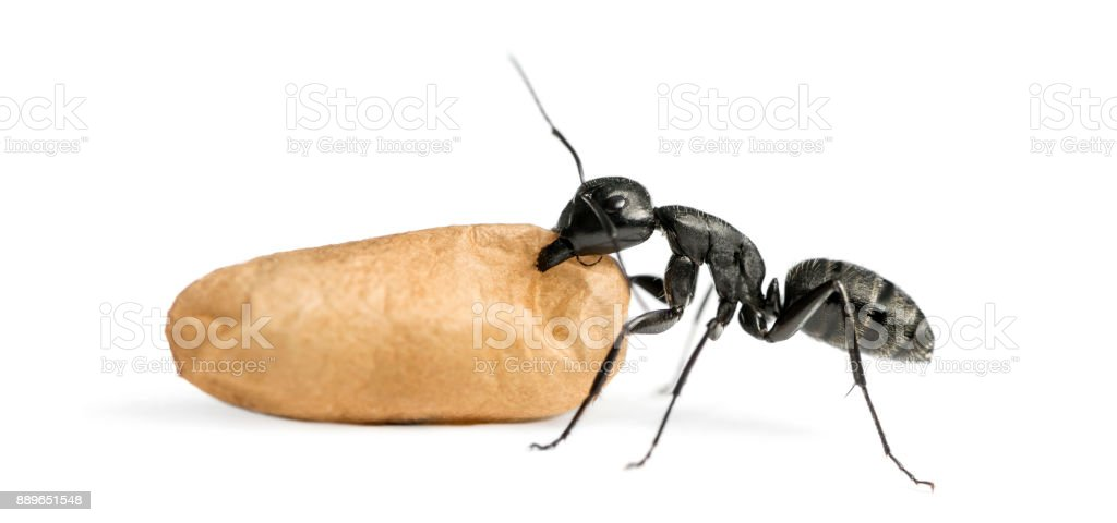Carpenter ant, Camponotus vagus, carrying an egg stock photo