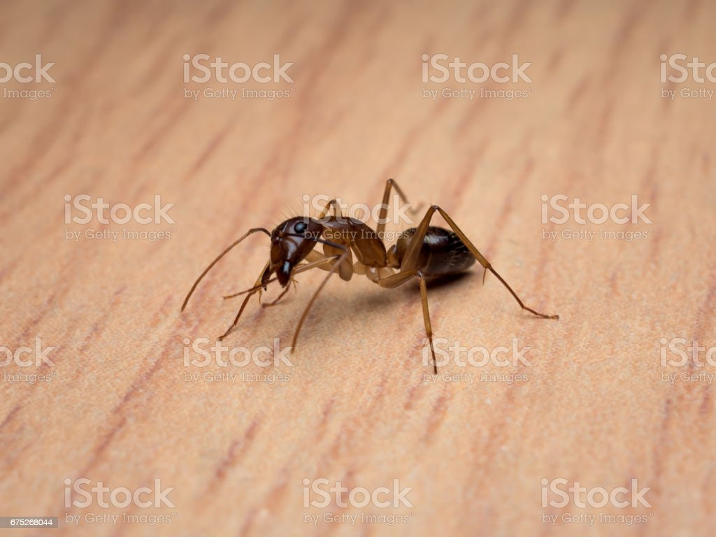 Carpenter Ant (Camponotus Sp.) cleaning body stock photo