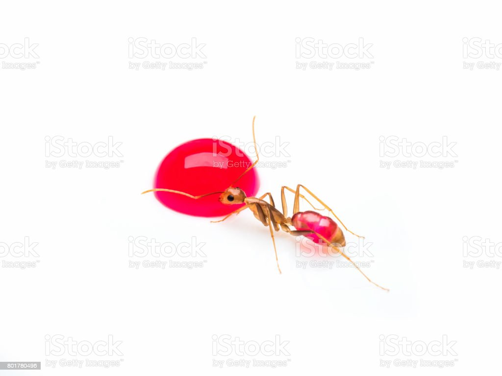 Carpenter ant eating red sweet droplet isolate stock photo