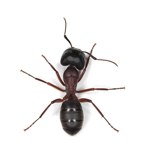 Carpenter ant isolated on white background Carpenter ant isolated on white background. This ant is a major pest on houses. ant stock pictures, royalty-free photos & images