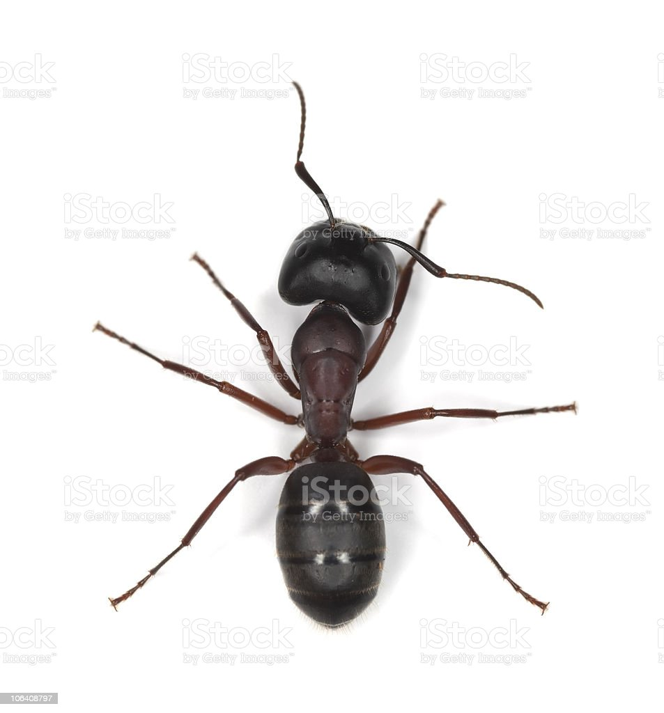 Carpenter ant isolated on white background stock photo