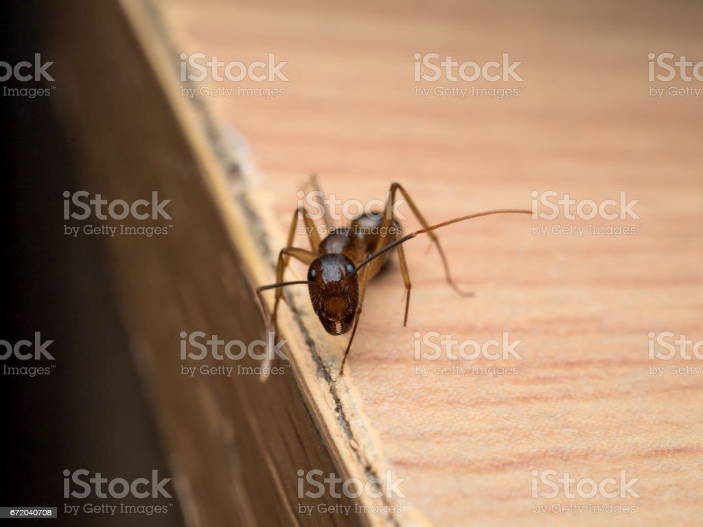 Carpenter Ant (Camponotus Sp.) looking on wooden stock photo
