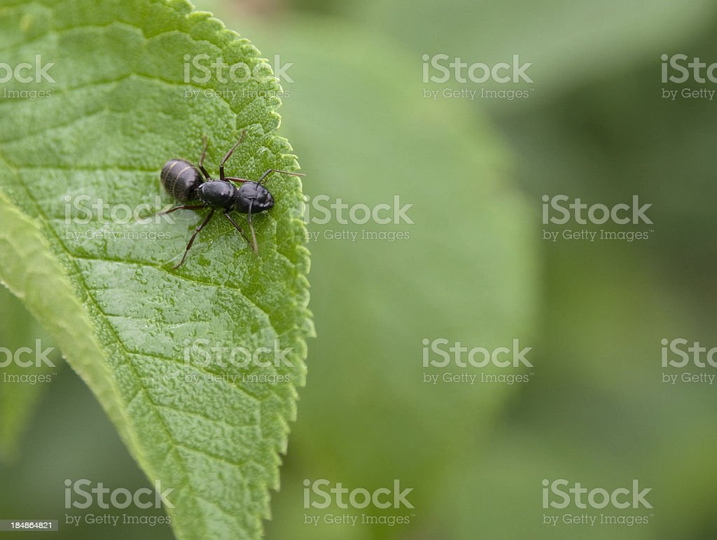 Carpenter Ant Queen on Leaf royalty-free stock photo